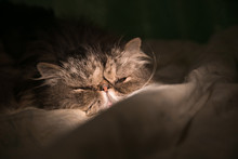 Grey Persian Cat Sleeping In B...
