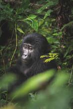 Black Gorilla Among The Nature