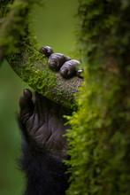 Black Gorilla Holding Tree