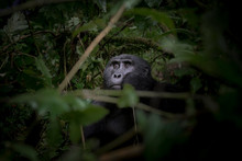 Black Gorilla Among The Nature