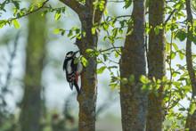 Cute Busy Great Spotted Woodpecker Feeding On Tree Trunk In Summer Forest