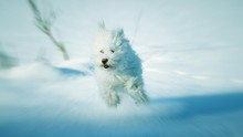 West Highland White Terrier Running On Snow Covered Field