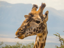 Portrait Of A Giraffe With Tongue Out