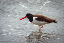 American Common Oystercatcher ...