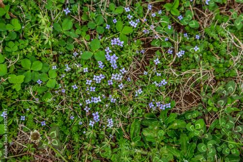 Blue-eye grass and clover