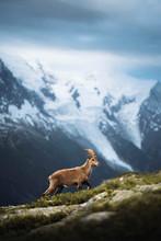 Wild Goat In The Alps
