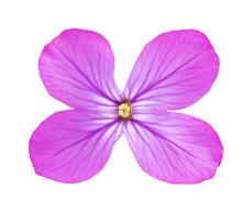 Lunaria  Annua Flower