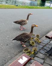 Goose Under The Bridge In Fran...