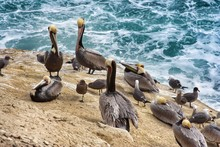 Group Of Pelicans On Rock Against Sea