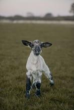 Lamb On The Field