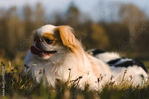 Tablou Canvas dog on the grass japanese chin