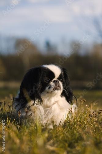 dog in the grass japanese chin Fototapet
