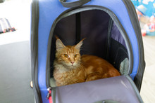 Ginger Maine Coon Cat Sit In T...