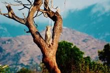 Cheetah Sitting On Branch