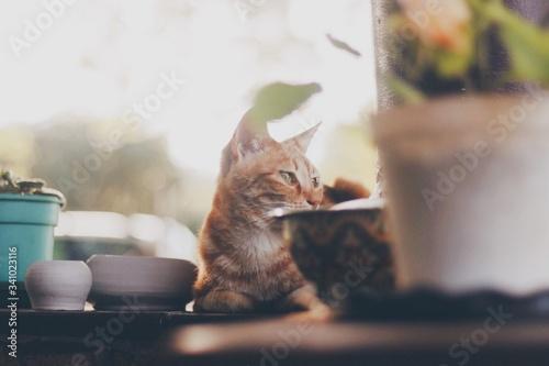 Fototapeta Ginger Cat Sitting On Table