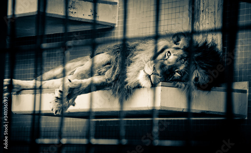 Tela Lion Lying In A Cage