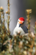 Close-up Of Red Bellied Woodpecker