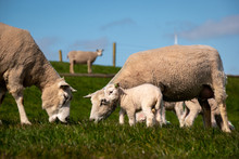 Lambs And Sheep On The Dutch D...