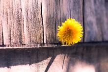 Yellow Dandelion In Grey Background