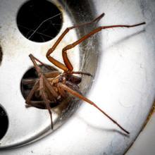 Wolf Spider In The Bath