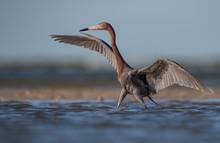 Reddish Egret On The Beach