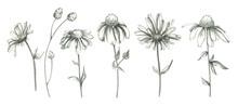 Pencil Daisy Flowers Set Isola...