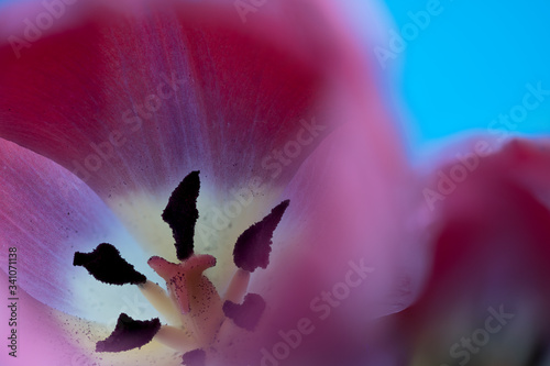 Interior of a red Tulip