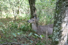 Deer In Radnor Lake 2