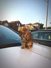 Kitten Sitting On Car Hood By Houses Against Clear Sky