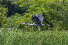 Great Blue Heron Flying Over A Cattail Filled Wetland