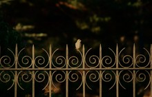 Bird Looking Away While Perching On Metal Fence