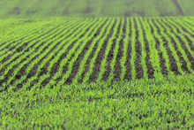 Rows Of Young Emerging Green W...