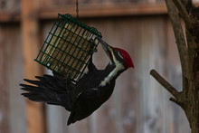 Pileated Adult Woodpecker Perched On A Bird Feeder