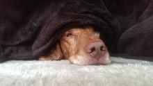 Lazy Dog Under Blanket Lying On Fur