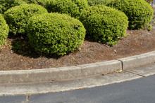 Round Trimmed Boxwood Bushes With Pine Needle Mulch, Formed Concrete Curb And Asphalt, Horizontal Aspect