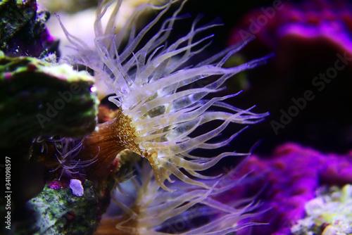 Small glass anemone pest - Exaiptasia or Aiptasia Pallida Fotobehang