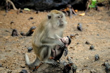 Close-up Of Monkey With Baby