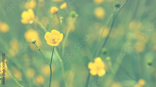 Photo Beautiful flowers of buttercup, Ranunculus acris, after rain, on a blurred background