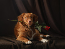 The Dog Holds A Rose In His Te...