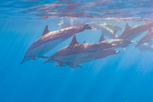 Pod Of Dolphins Swimming Just ...