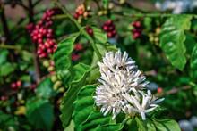 Flower Of Arabica And Robusta Tree In Coffee Plantation, Buon Me Thuot Or Buon Ma Thuot, Dak Lak, Vietnam.