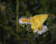 An Orange Sulphur Butterfly Feeds On Daisies In An Eastern Meadow