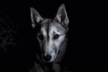 Close-up Of Wolf At Night