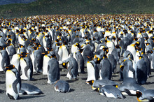 King Penguin Colony On The Rocks