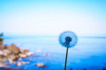 Close-up Of Dandelion Against Sea Against Clear Sky