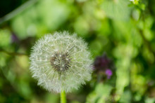 Beautiful White Fluffy Ball Of Dandelion, Green Grass Background, Nature Outdoors, Meadow With Wild Flowers Close-up