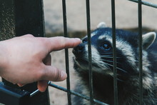 Cropped Hand Of Person Touching Raccoon In Cage