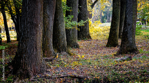 Trees in autumn park, thick tree trunks © Volodymyr