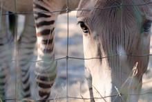 Close-up Portrait Of Zebra Behind Fence