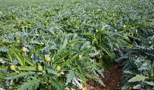 Harvest Of Artichokes Growing In Land, Nobody
